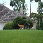 Deer in Alaqua Longwood FL
